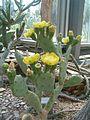 Opuntia stricta BotGardBln07122011D.JPG
