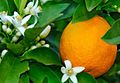Orange Blossom Flower.jpg
