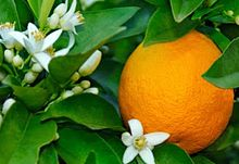 Orange Blossom Flower used to produce orange blossom water