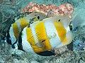 Orangebanded coralfish (Coradion chrysozonus) (32396203527).jpg
