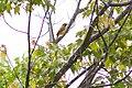 Orchard oriole (19568861868).jpg