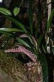 Orchid (29543888850).jpg