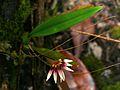 Orchid (Bulbophyllum amesianum) (6761237151).jpg
