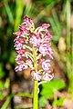 Orchis purpurea in Causse Comtal (2).jpg