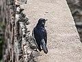 Oriental Magpie-robin at Taudaha, Nepal 01.jpg