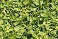 Origanum vulgare Jims Best 1zz.jpg