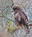 Ormvråk Common Buzzard (13133768704).jpg