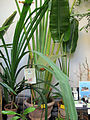 Orto botanico, fi, ravenala madagascariensis (palma del viaggiatore) 01.JPG