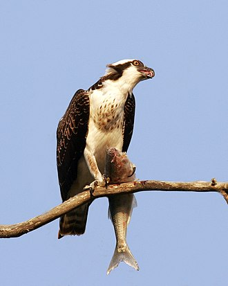 Osprey - Eating a fish