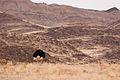 Ostrich (3691771328).jpg