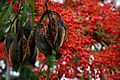 "Oz ""christmas tree"" - ablaze with red flowers.jpg"