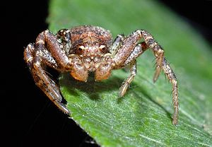 A small mottled spider with large pedipalps stands on the edge of a leaf.