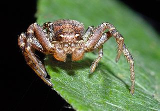 Thomisidae family of arachnids