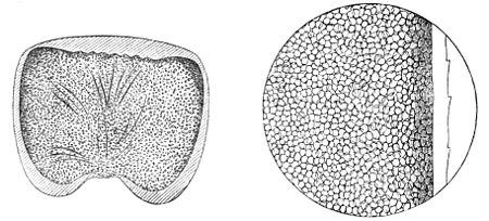 PSM V04 D710 Cross sections of bird feathers.jpg