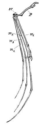 PSM V09 D553 Skeleton of bat arm.jpg