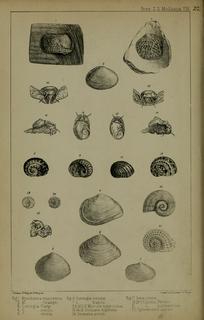 <i>Cumingia</i> genus of molluscs