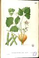 Pachyrhizus erosus Blanco2.249-original.png