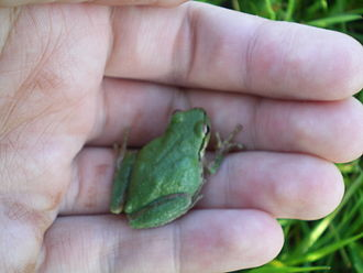 Pacific tree frog - Green Morph.