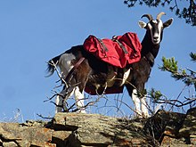 Pack goat - Wikipedia