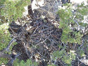 Pack rat - Active pack rat midden in northern Nevada