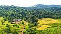 Paddy field in Maharashtra 6.jpg