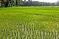 Paddy fields in in Isfahan 2.jpg