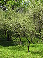 Padus mahaleb blossom 02.JPG