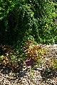 Paeonia bakeri, Conservatoire botanique national de Brest 02.jpg