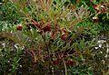 Paeonia delavayi - Flickr - peganum (4).jpg