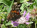 Painted Lady. Vanessa cardui - Flickr - gailhampshire (1).jpg