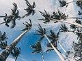 Palm Trees - Flickr - MassiveKontent.jpg