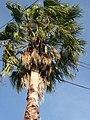 Palmeras en Trenque Lauquen (planta 06) foto 05.JPG
