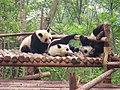Panda Cubs - panoramio.jpg
