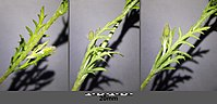 Papaver argemone sl44.jpg