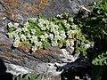 Paronychia kapela serpyllifolia 2.jpg