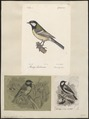 Parus major - 1700-1880 - Print - Iconographia Zoologica - Special Collections University of Amsterdam - UBA01 IZ16100099.tif