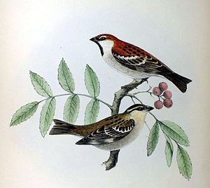Fauna Japonica - An illustration of a russet sparrow pair from the Fauna Japonica