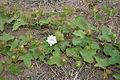 Passiflora foetida W IMG 0568.jpg
