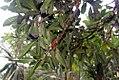 Passiflora quadrangularis 9zz.jpg