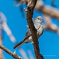 Peaceful dove Burke River Boulia Queensland P1030970.jpg