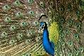 Peacock (2724111287).jpg