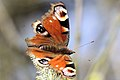 Peacock Butterfly - Fowlmere April 2010 (4531593825).jpg