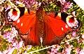 Peacock Butterfly 1.jpg