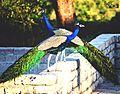 Peacockcouple.jpg