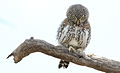 Pearl-spotted Owlet, Glaucidium perlatum, at Pilanesberg National Park, Northwest Province, South Africa (16968210445).jpg