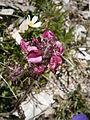 Pedicularis cenisia04.jpg