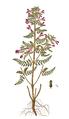 Pedicularis palustris, Flora Danica 2055.png