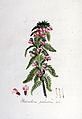 Pedicularis palustris — Flora Batava — Volume v6.jpg