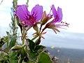 Pelargonium cordifolium Potberg 4.jpg