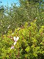 Pelargonium fruticosum KirstenboschBotGard09292010D.JPG